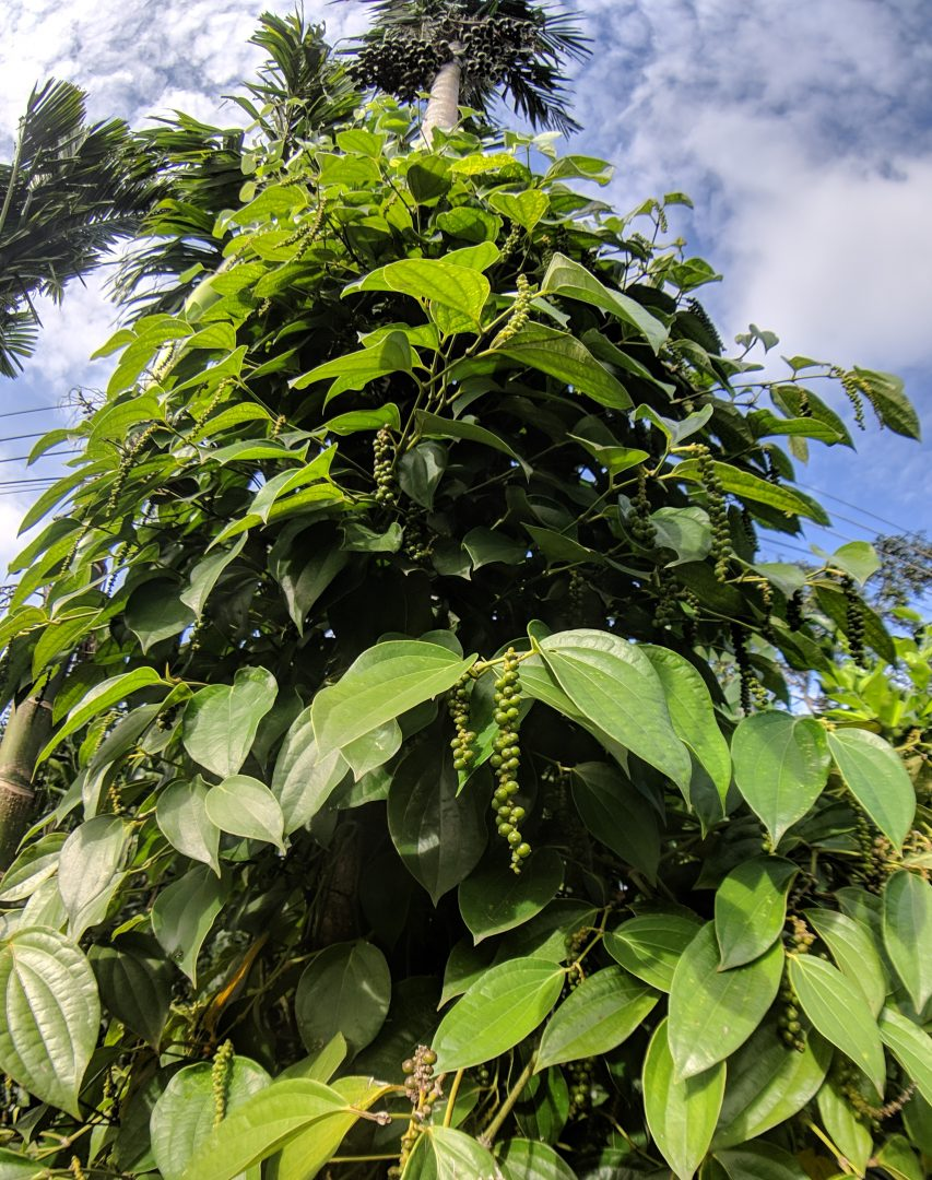 Pepper plant in the Mekong Delta