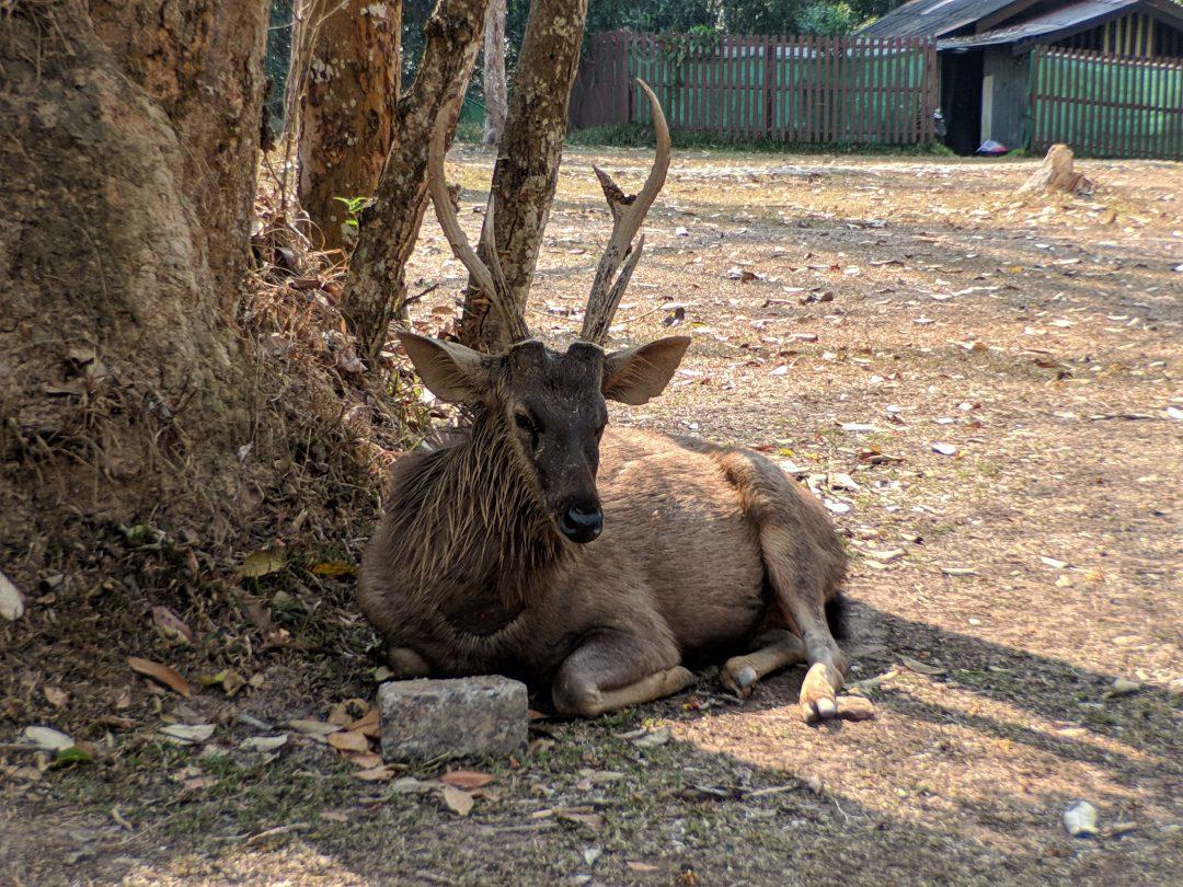 Deer in Thailand Jungle