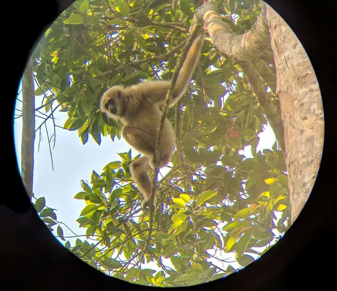 Gibbon swinging from tree