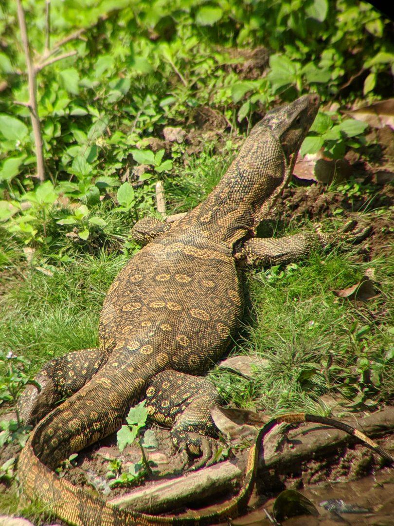 Monitor Lizzard in Thailand Jungle
