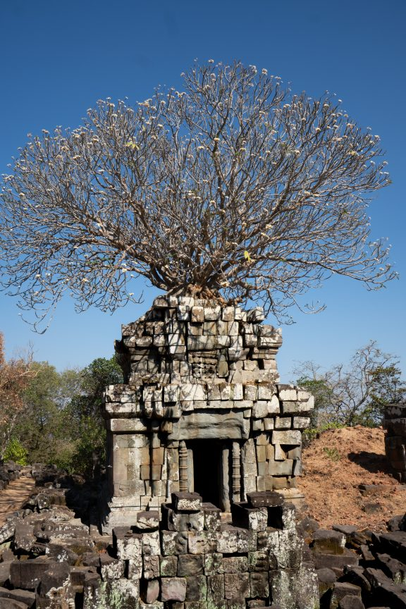 Tree growing out of Phnom Bok Temple.