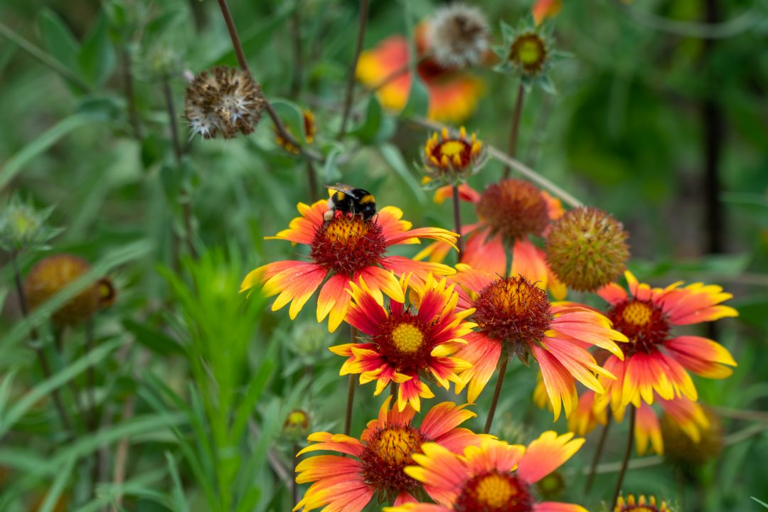 Bee and Wildflowers in the Danube Delta