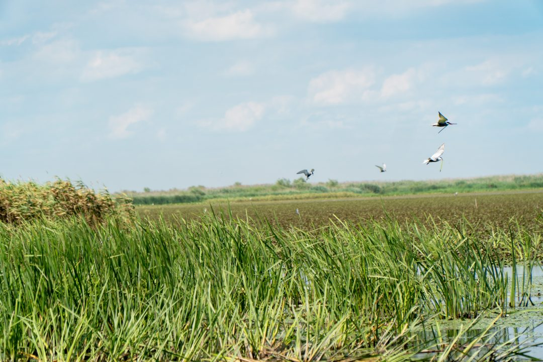 Birds flying over the Danube Delta
