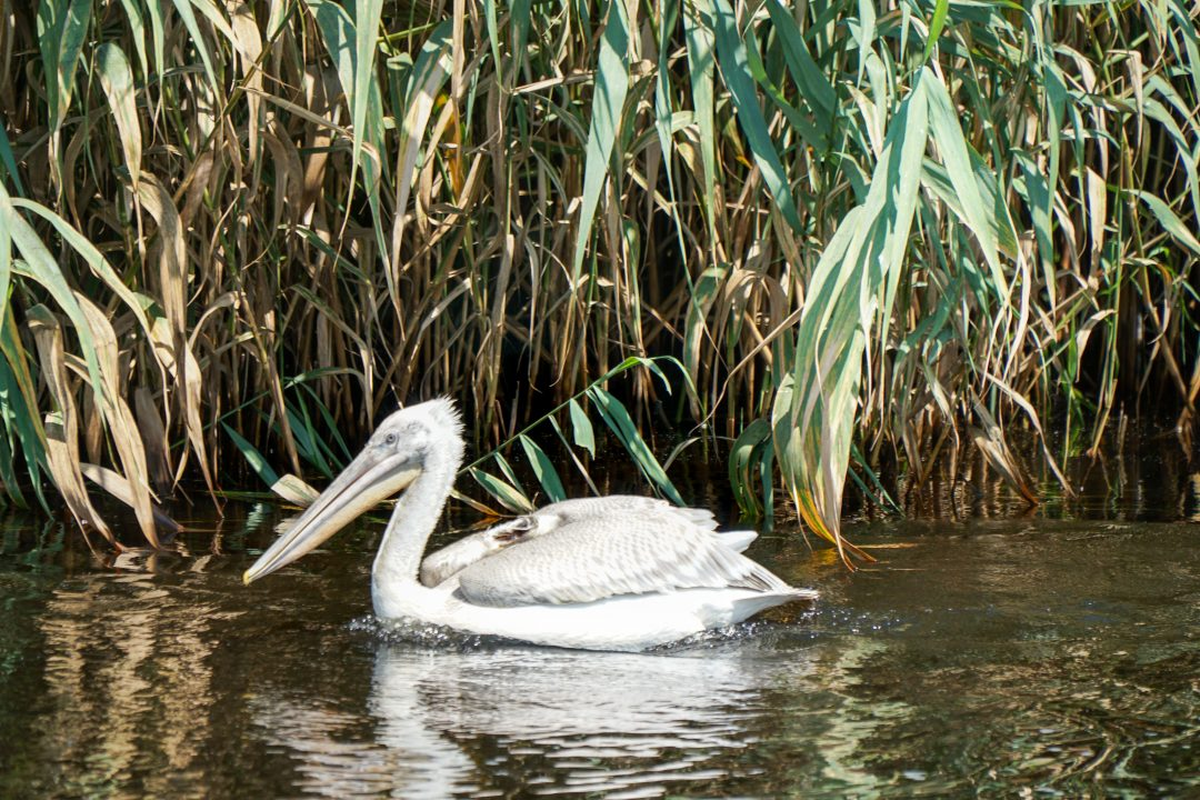 Pelican at the Danube Delta