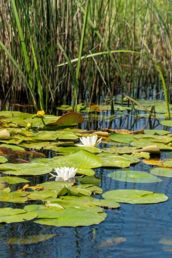 lillypads on the Danube Delta