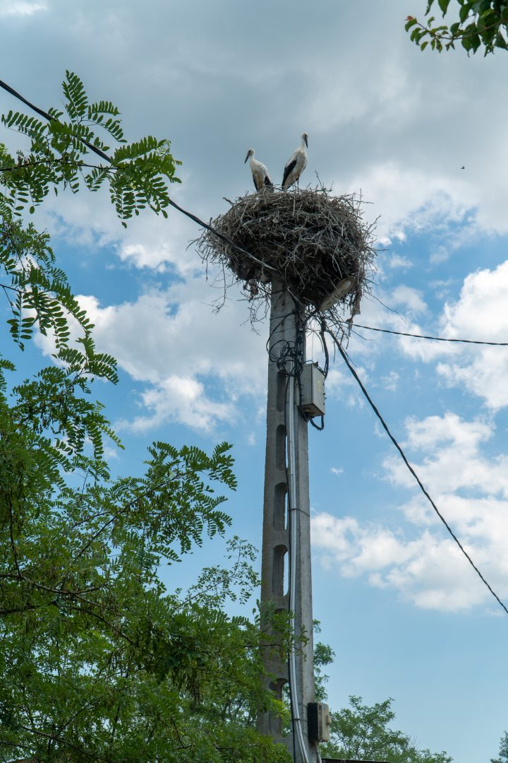 Storks nest in the Danube Delta