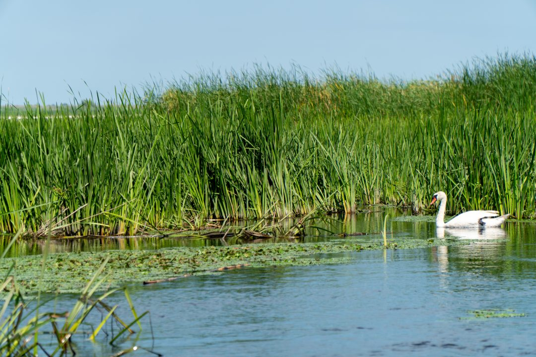 Swan in the Danube Delta