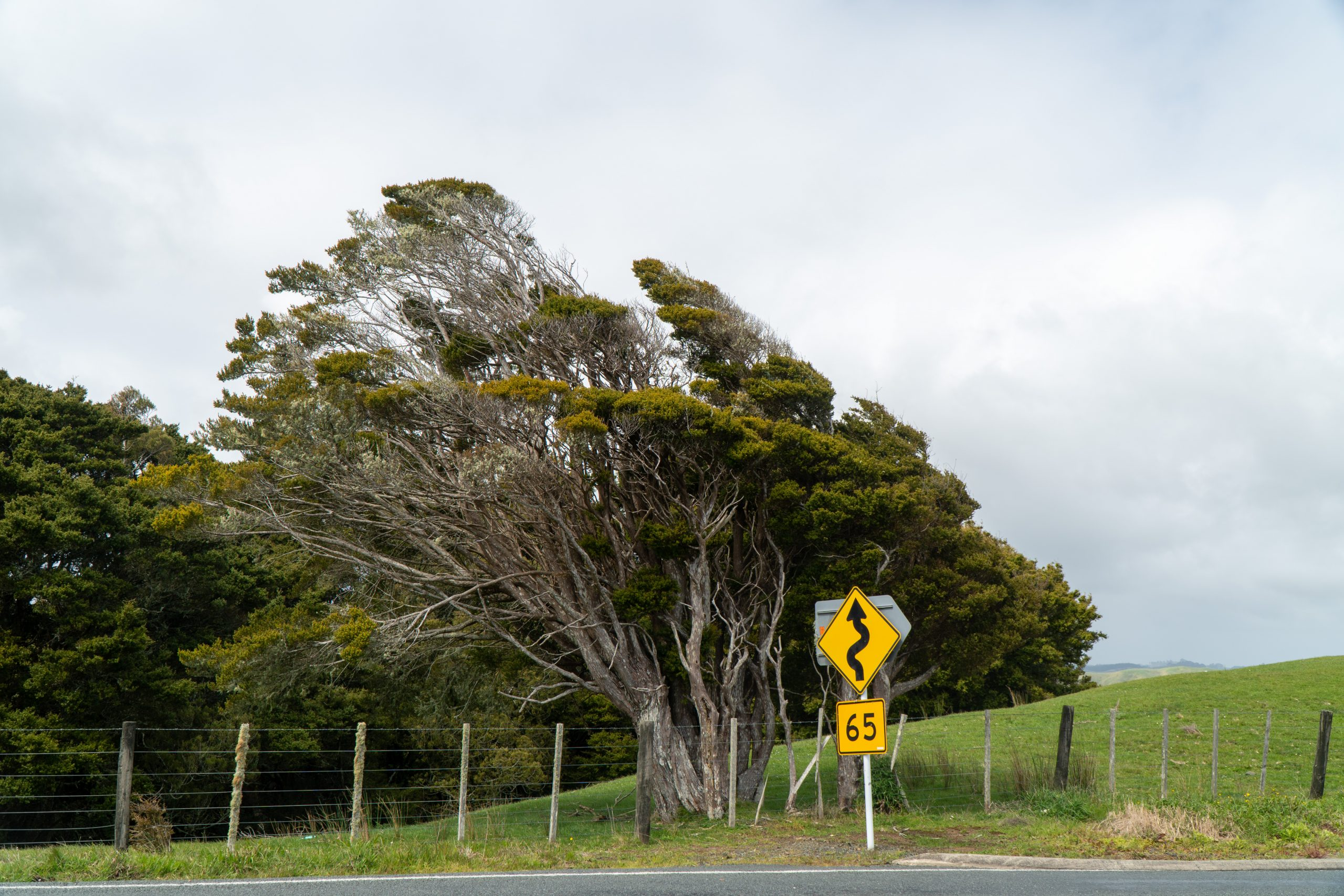 Windswept trees along road in New Zealand.