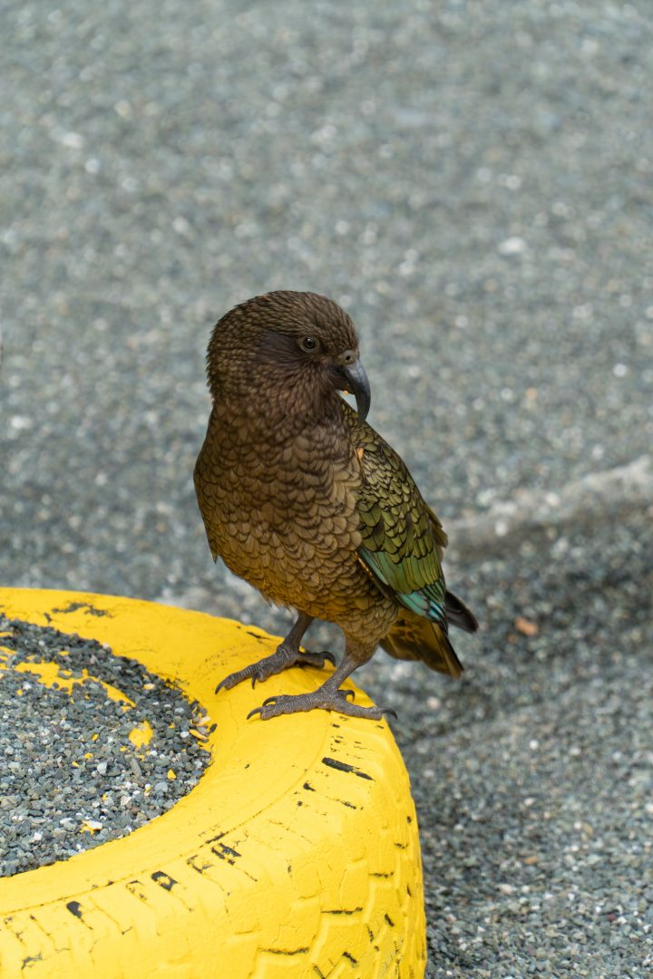 Kea Parrot at Milford Sound