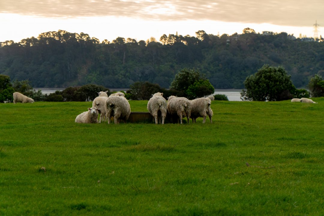 sheep in Ambury Campground in Auckland, New Zealand
